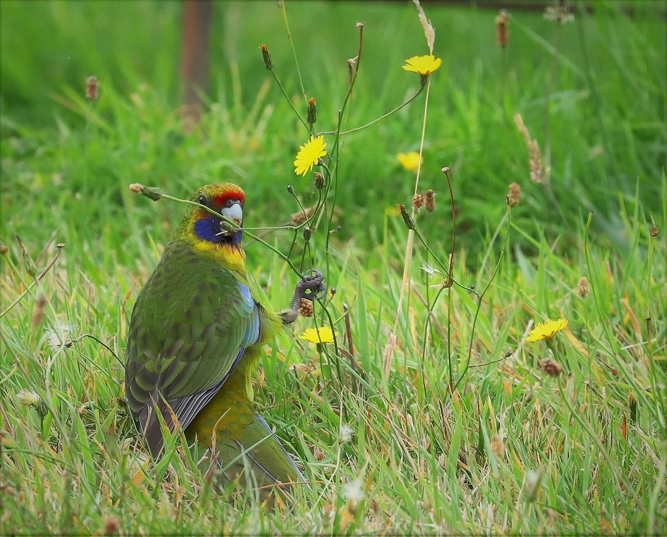 Green Rosella (Image ID 33059)