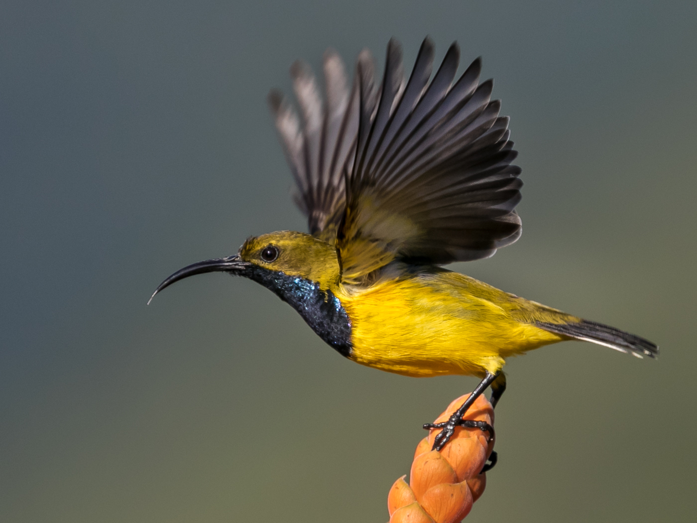 Olive-backed Sunbird (Image ID 33112)