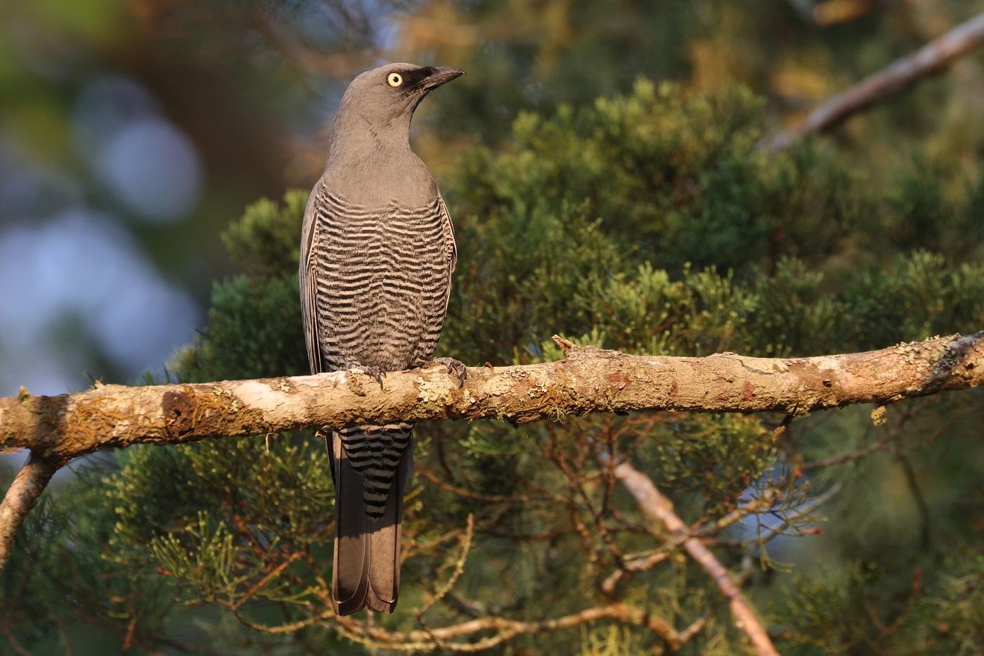 Barred Cuckoo-shrike (Image ID 33257)