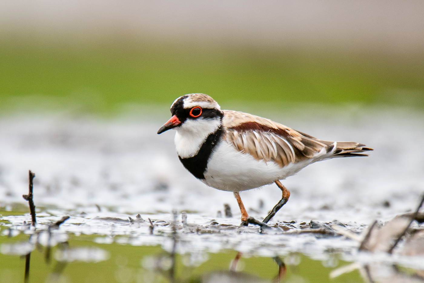 Black-fronted Dotterel (Image ID 33158)