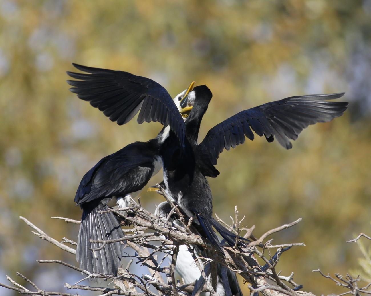 Pied Cormorant (Image ID 32979)