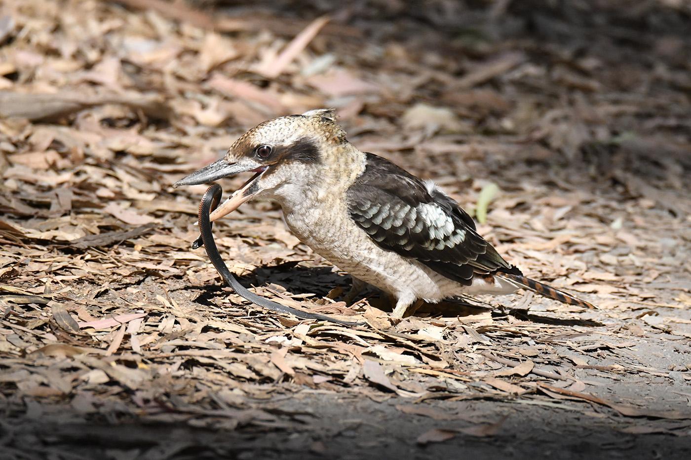Laughing Kookaburra (Image ID 33074)