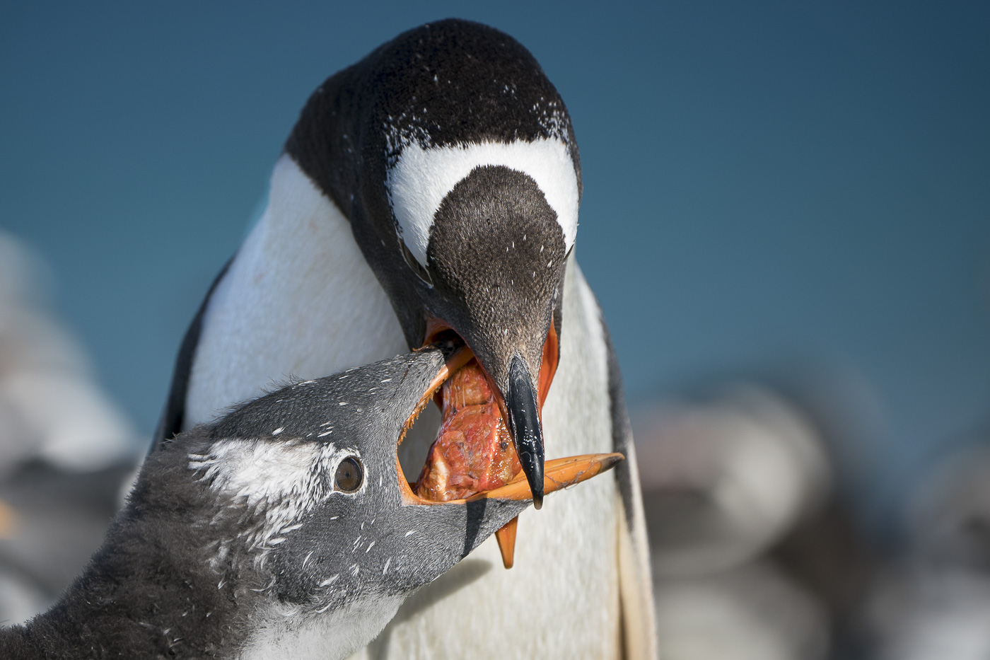 Gentoo Penguin (Image ID 33022)