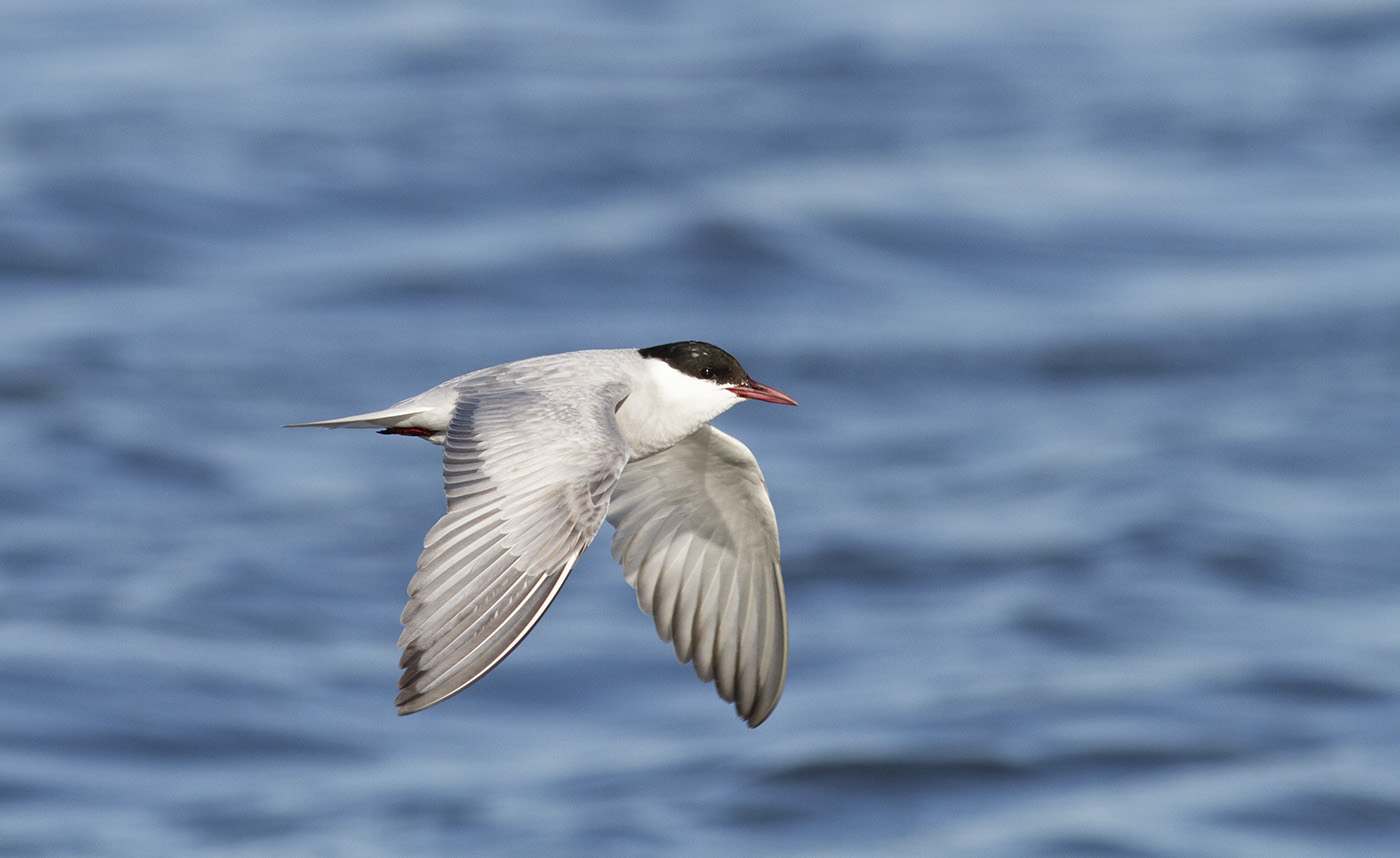 Whiskered Tern (Image ID 33171)