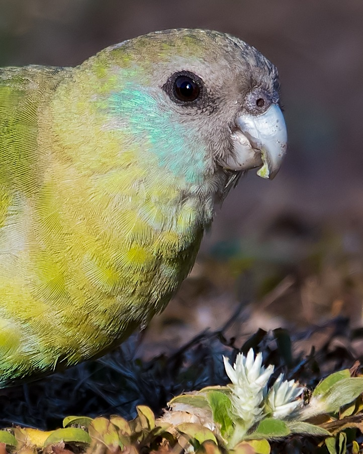Hooded Parrot (Image ID 33070)