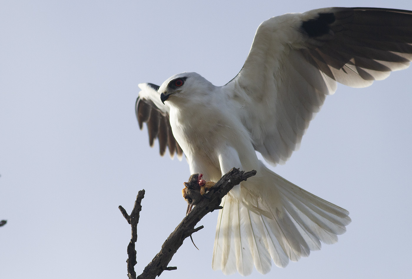 Black-shouldered Kite (Image ID 32976)