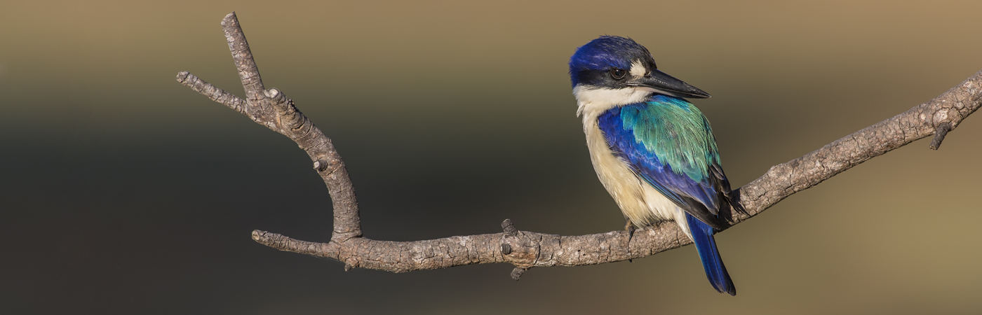 Forest Kingfisher (Image ID 33193)