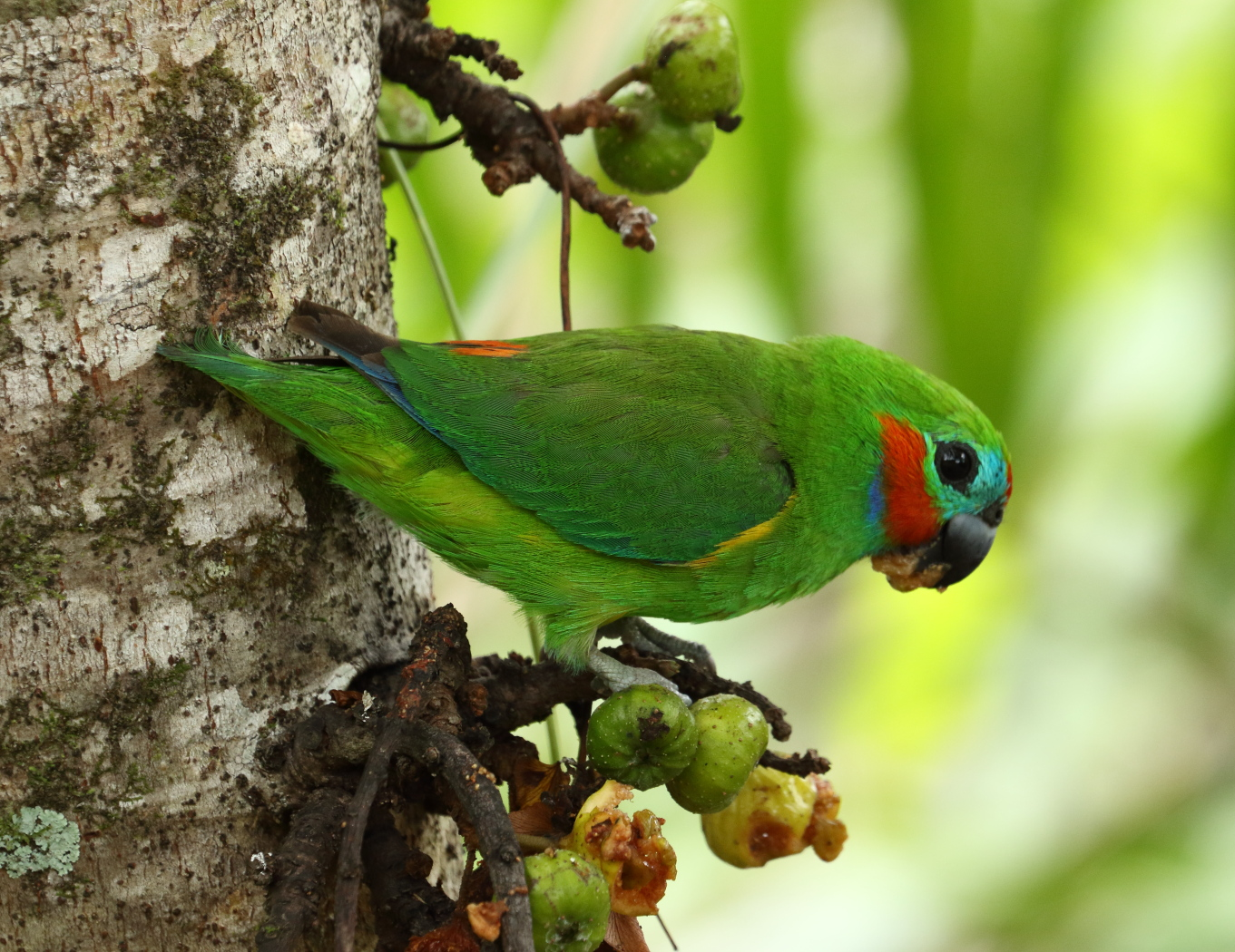 Double-eyed Fig-Parrot (Image ID 32951)