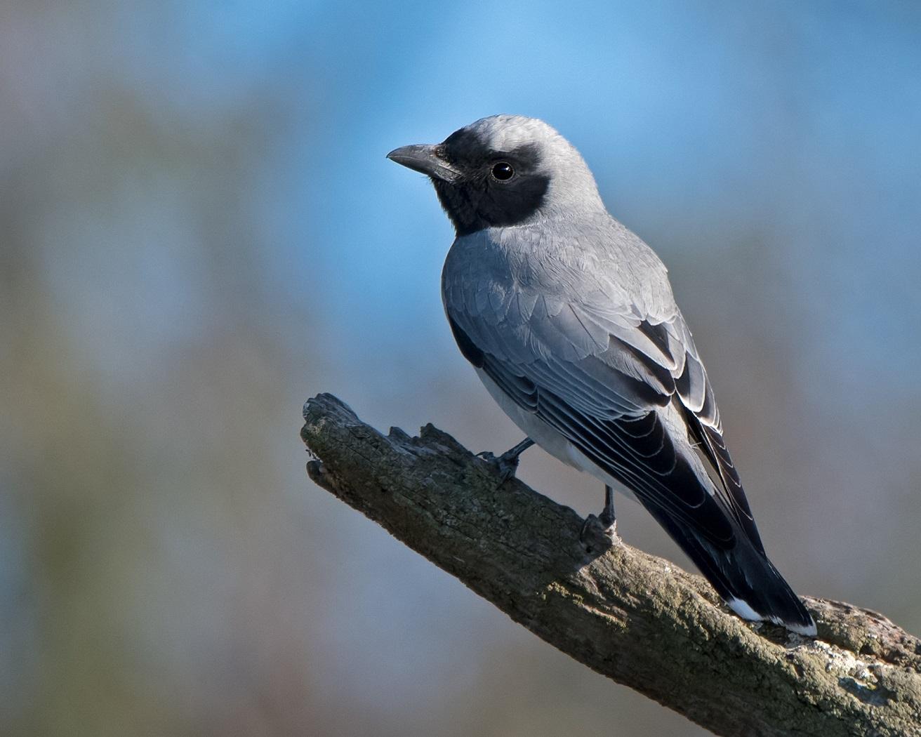 Black-faced Cuckoo-shrike (Image ID 33138)