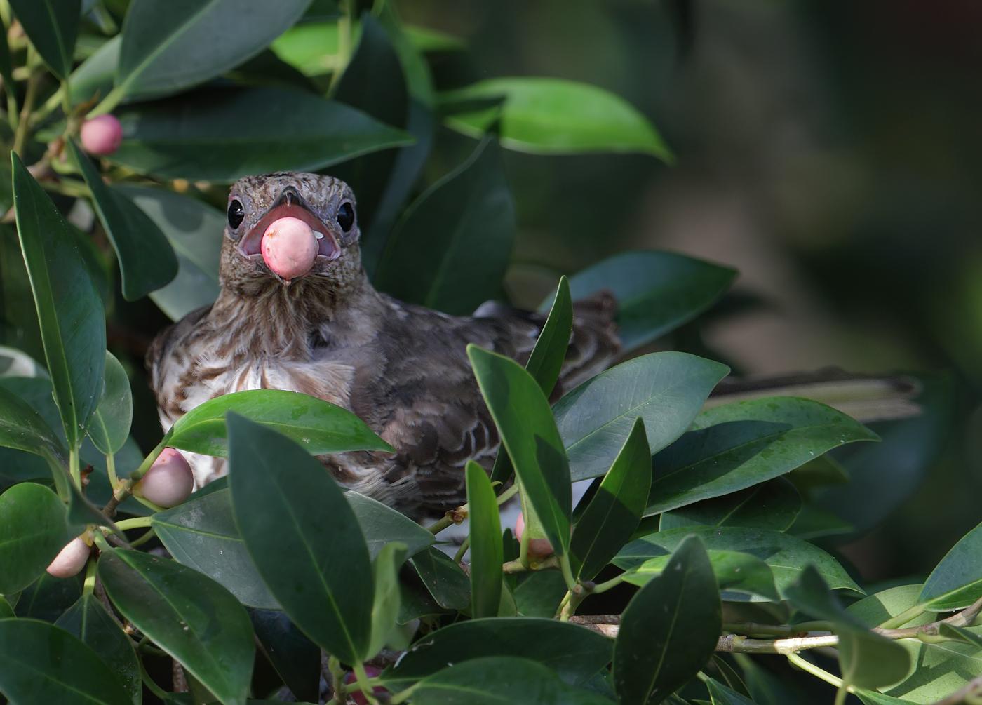 Australasian Figbird (Image ID 33044)