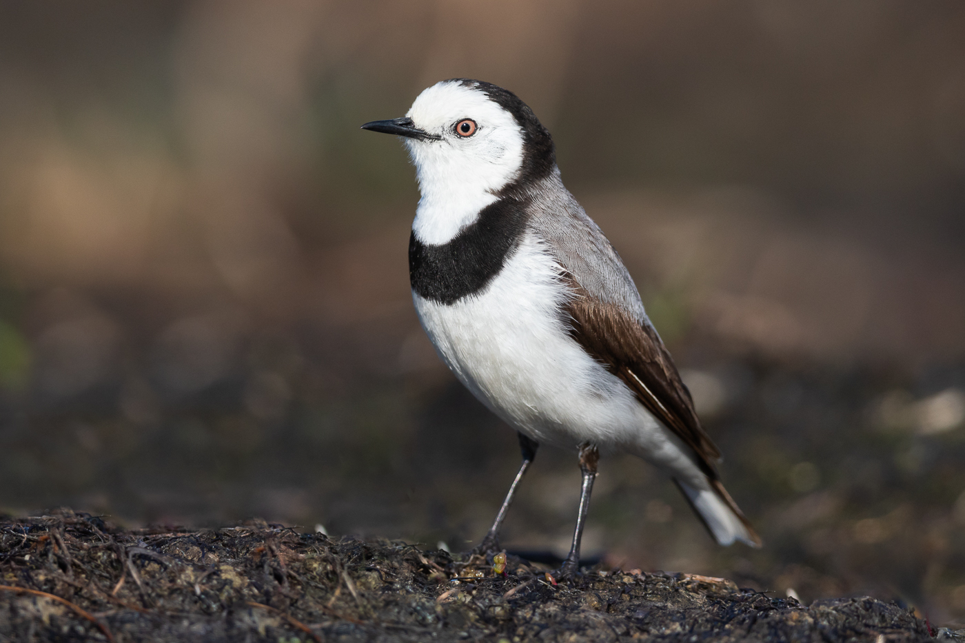 White-fronted Chat (Image ID 33236)