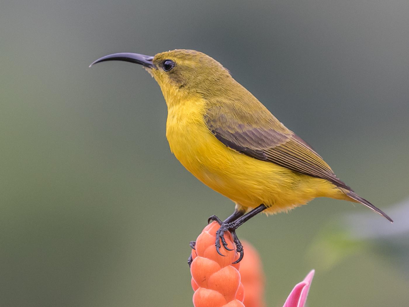 Olive-backed Sunbird (Image ID 33111)