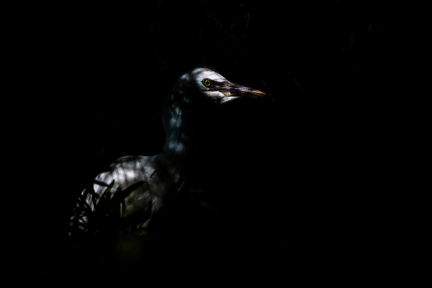 Cattle Egret (Image ID 33045)