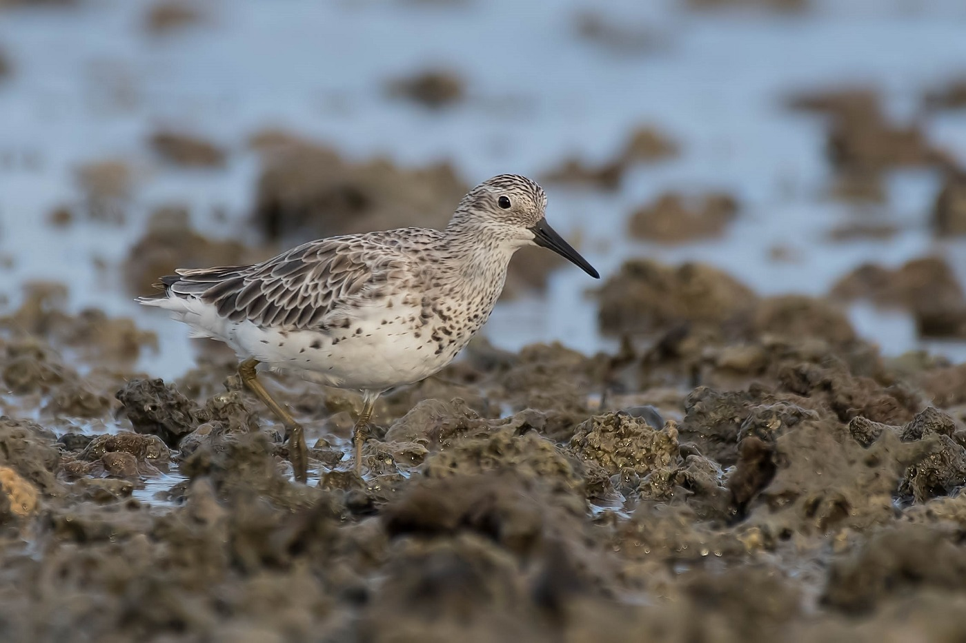 Great Knot (Image ID 33207)