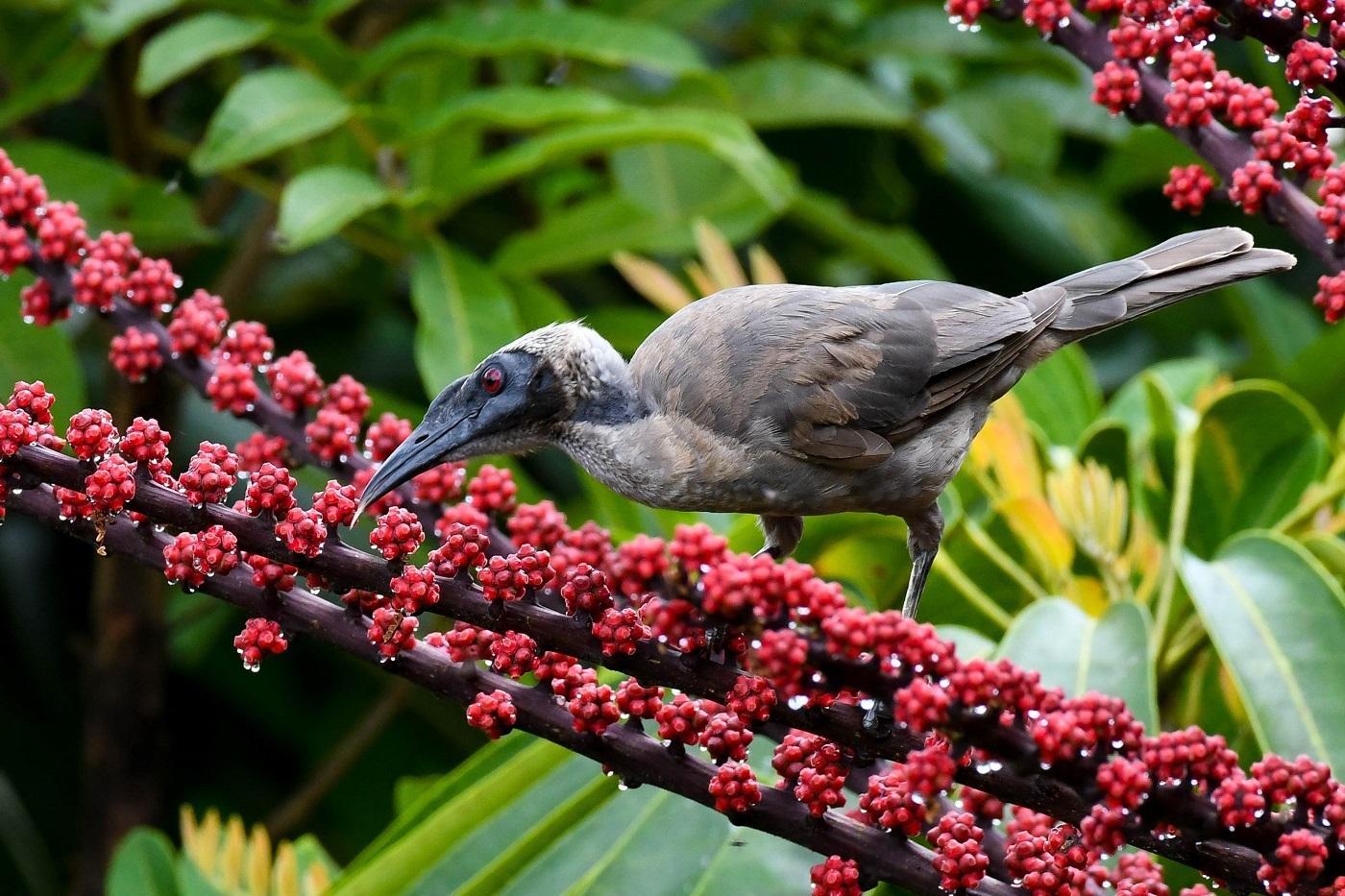 Helmeted Friarbird (Image ID 33195)