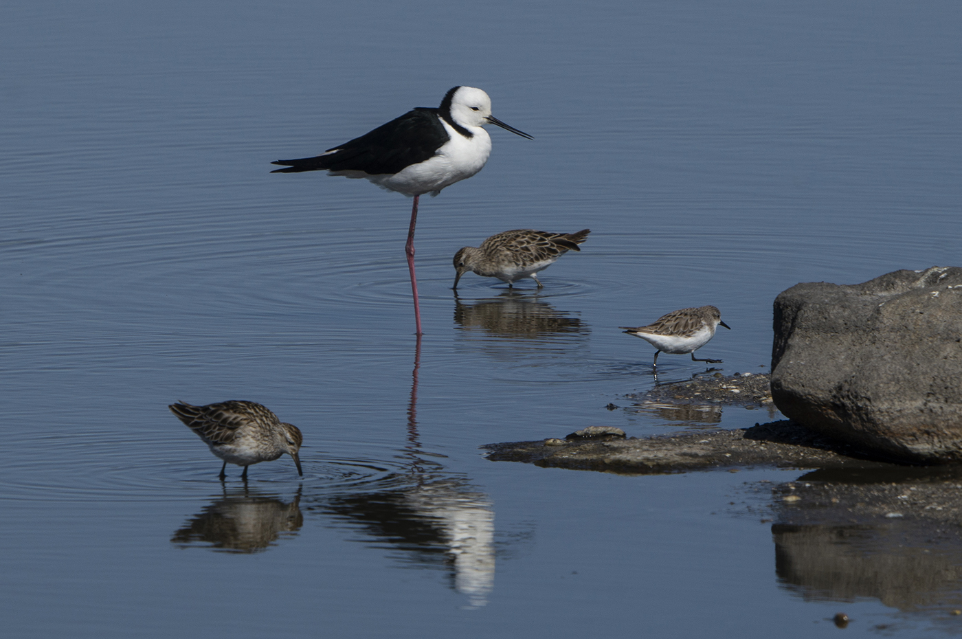 Pectoral Sandpiper, Pied Stilt, Red-necked Stint, Sharp-tailed Sandpiper