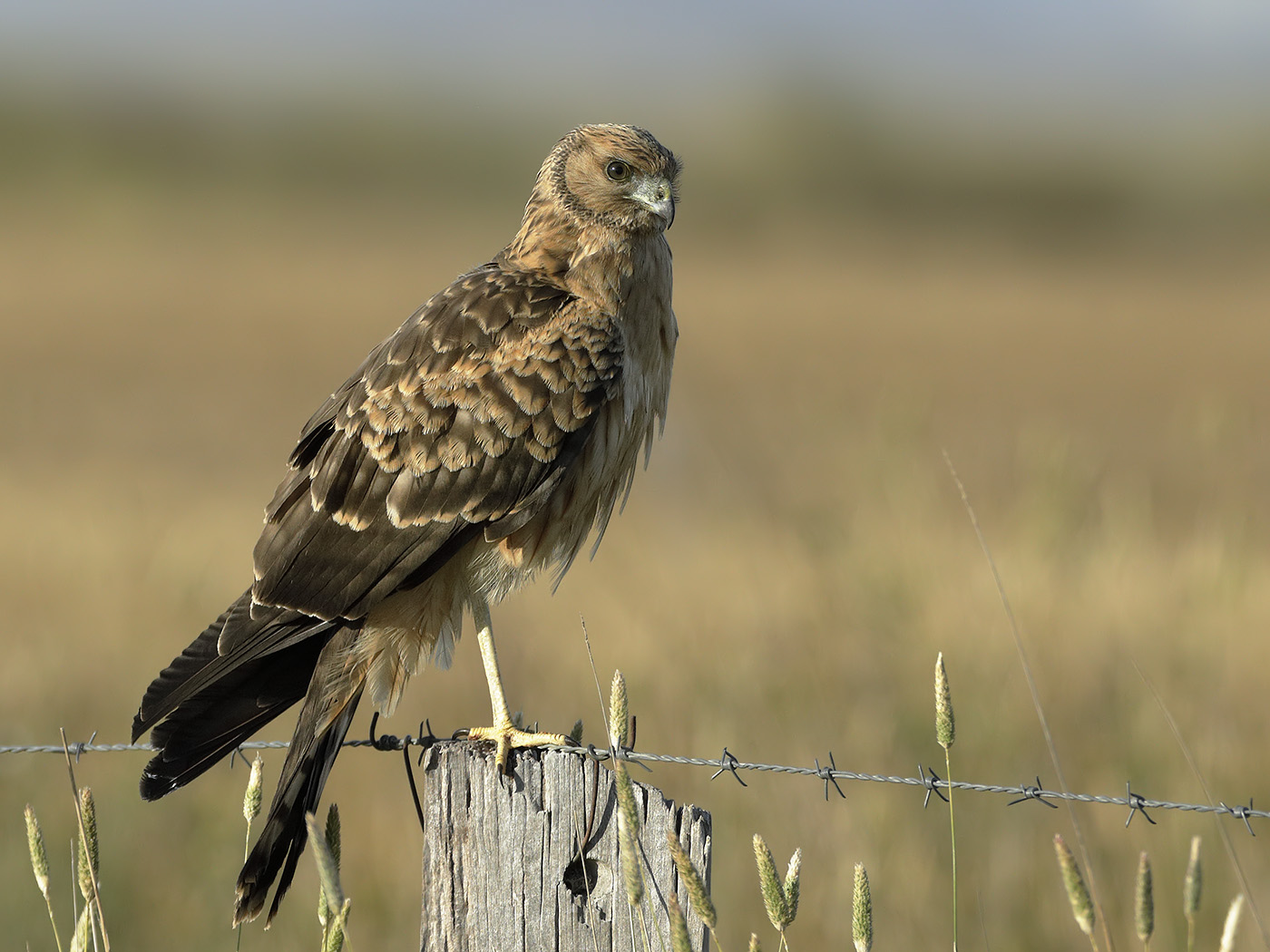 Swamp Harrier (Image ID 33011)
