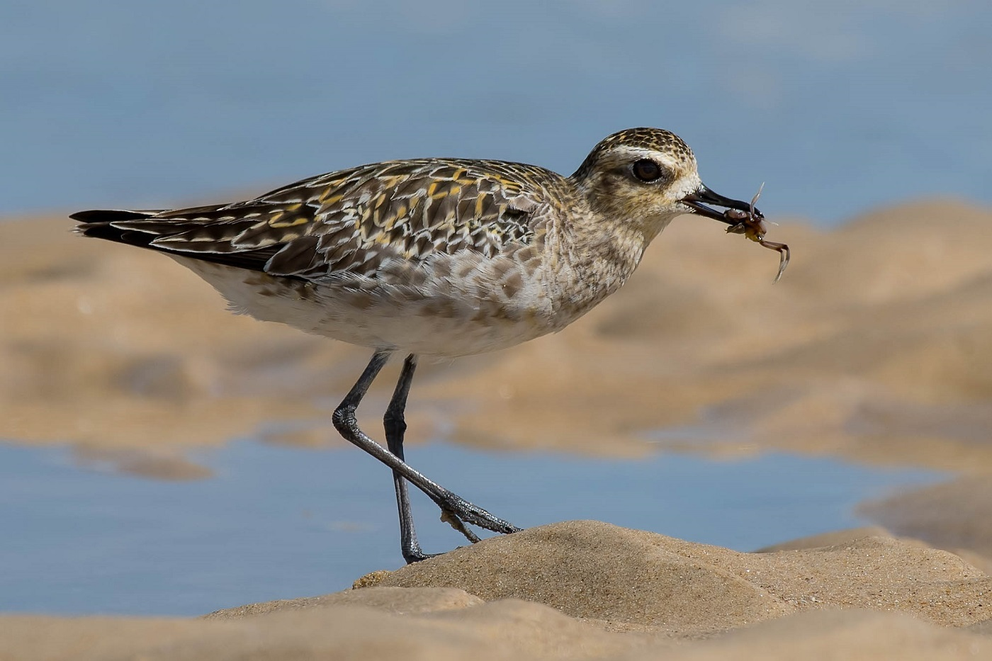 Pacific Golden Plover (Image ID 33033)
