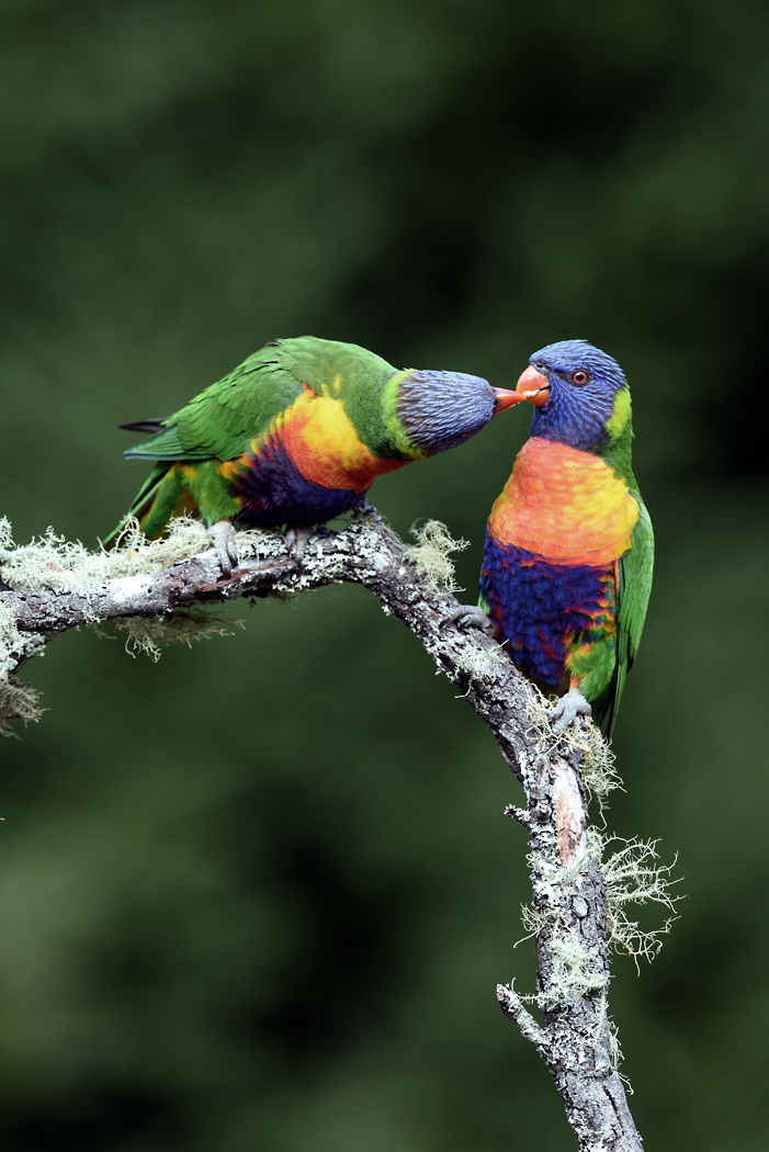 Rainbow Lorikeet (Image ID 33079)