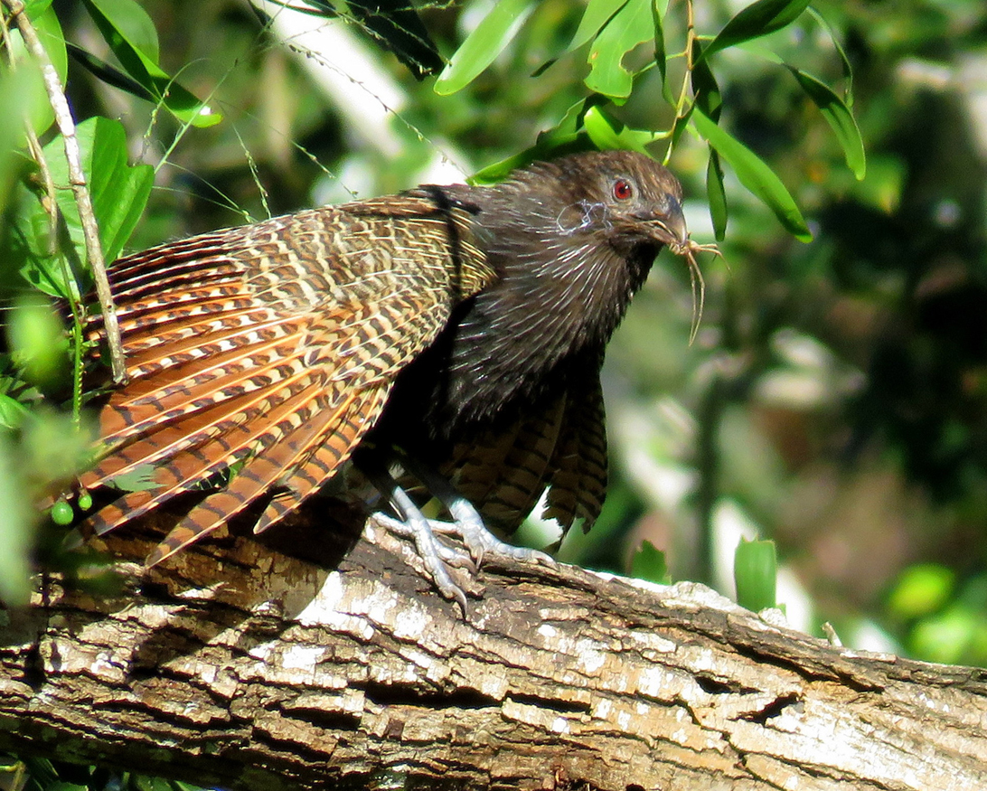 Pheasant Coucal (Image ID 33006)