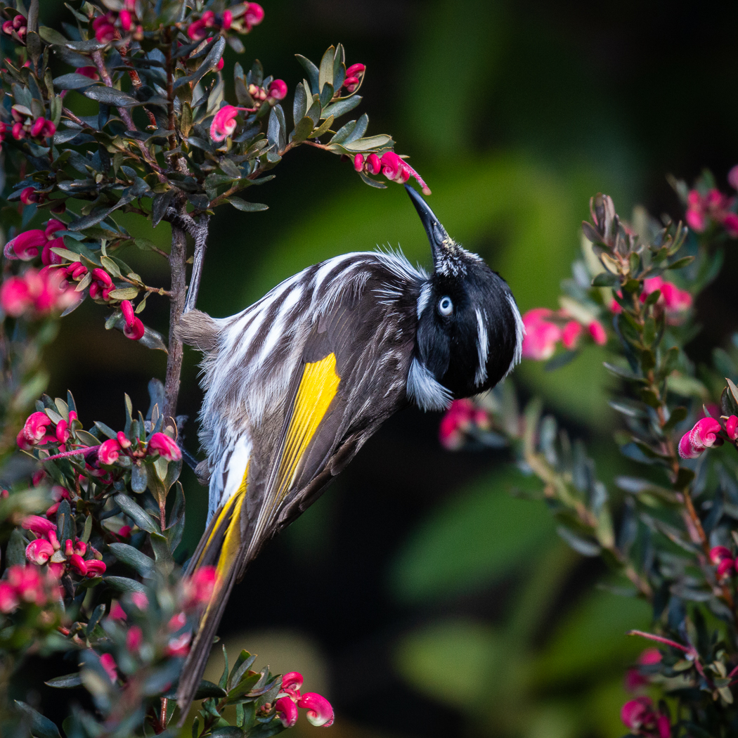 New Holland Honeyeater (Image ID 33048)
