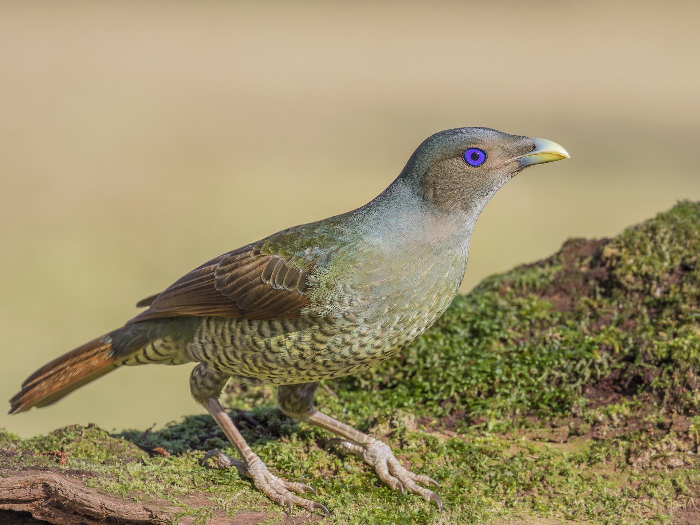 Satin Bowerbird (Image ID 33200)