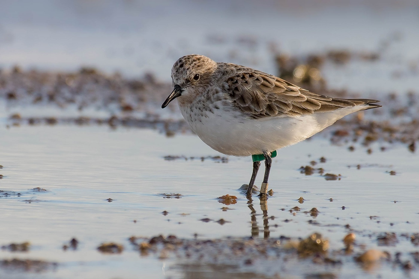Red-necked Stint (Image ID 33206)