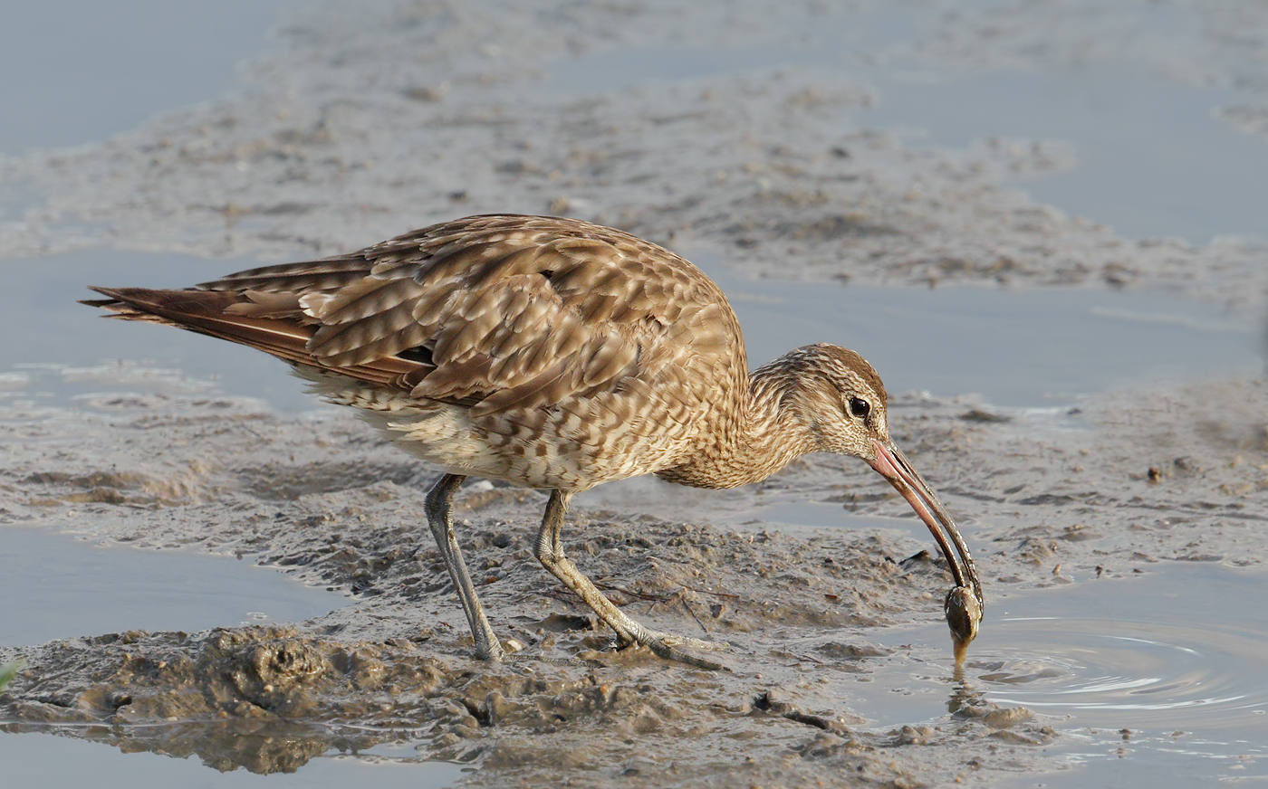 Whimbrel (Image ID 33043)