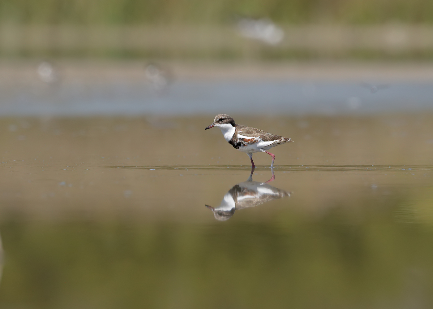 Red-kneed Dotterel (Image ID 33124)