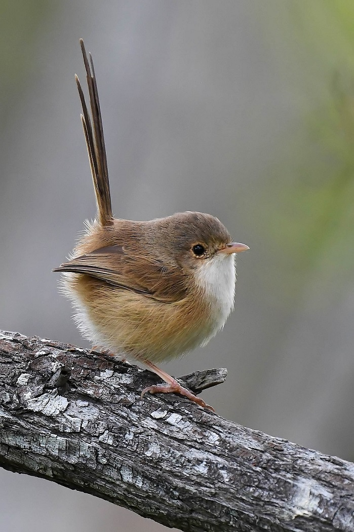 Red-backed Fairy-wren (Image ID 33255)