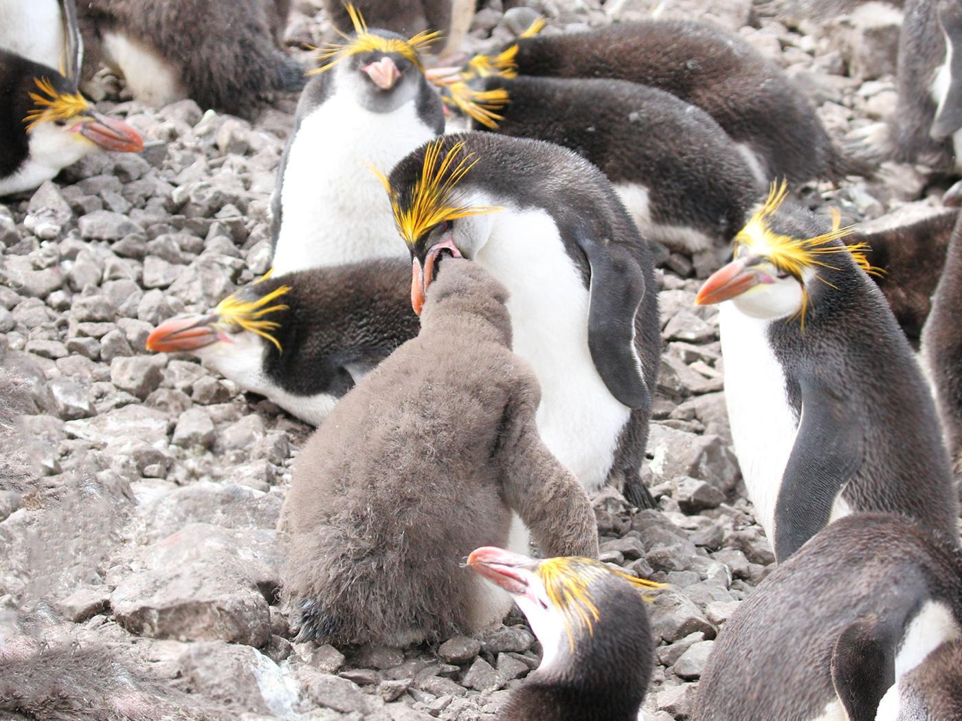 Royal Penguin (Image ID 32978)