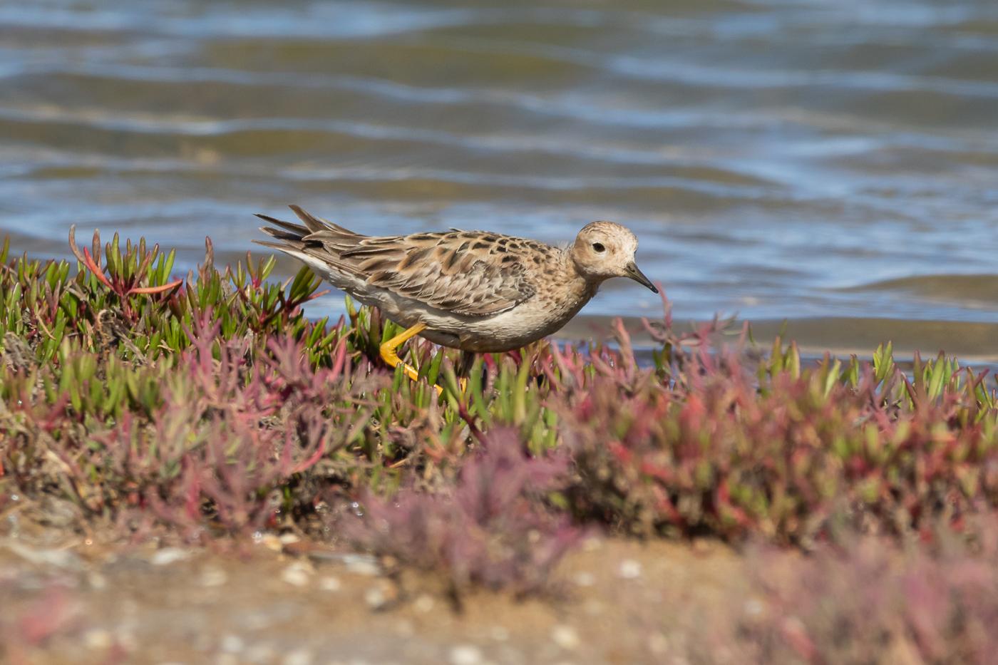 Buff-breasted Sandpiper (Image ID 33230)