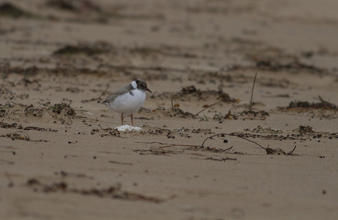 Hooded Plover (Image ID 33228)