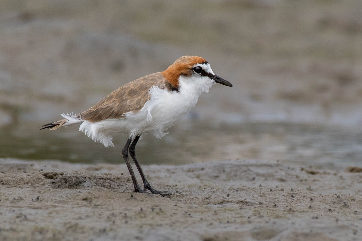Red-capped Plover (Image ID 33198)