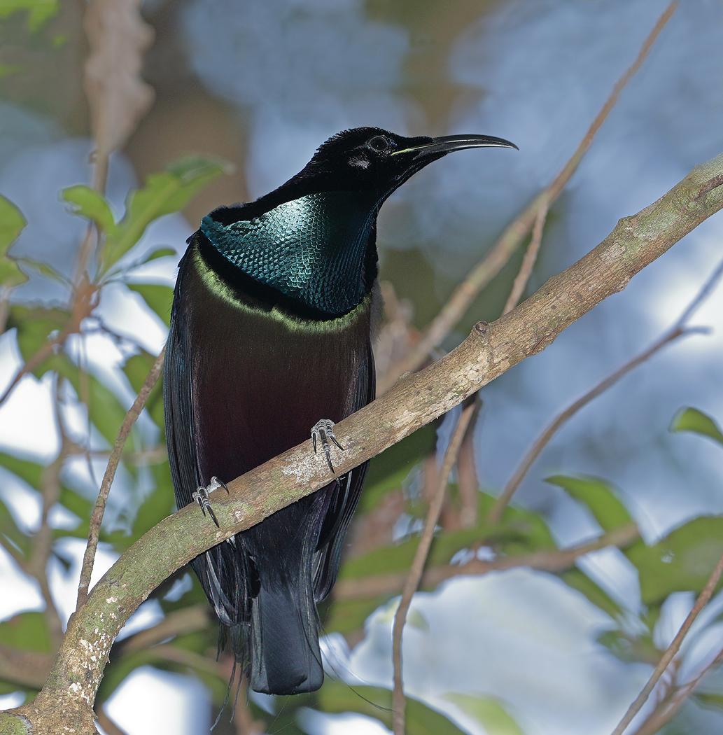 Magnificent Riflebird (Image ID 33226)