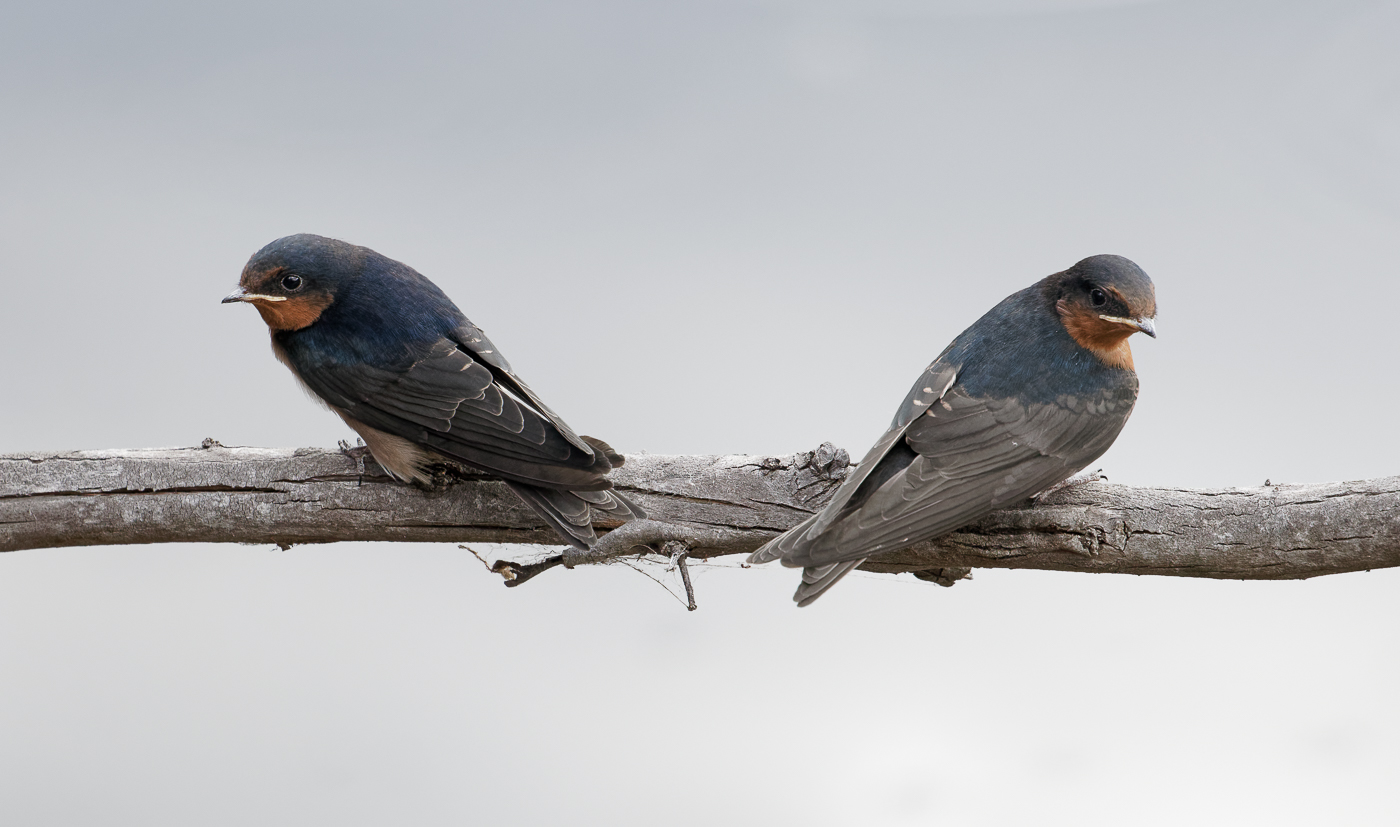 Welcome Swallow (Image ID 33189)