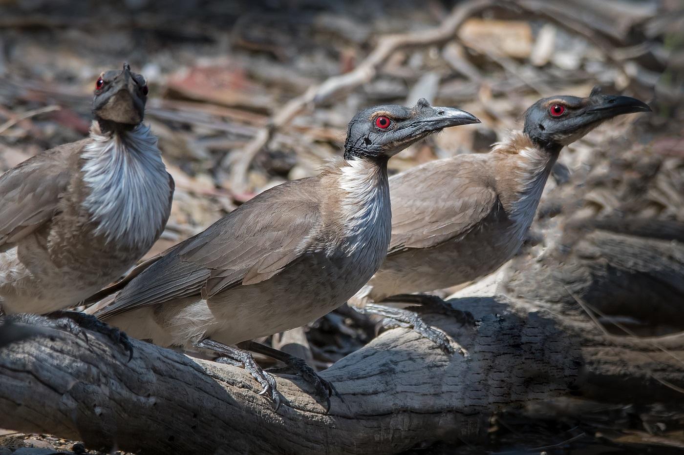 Noisy Friarbird (Image ID 33240)