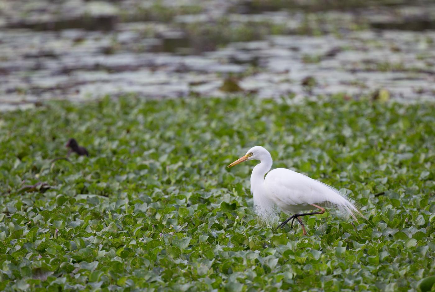 Intermediate Egret (Image ID 33051)