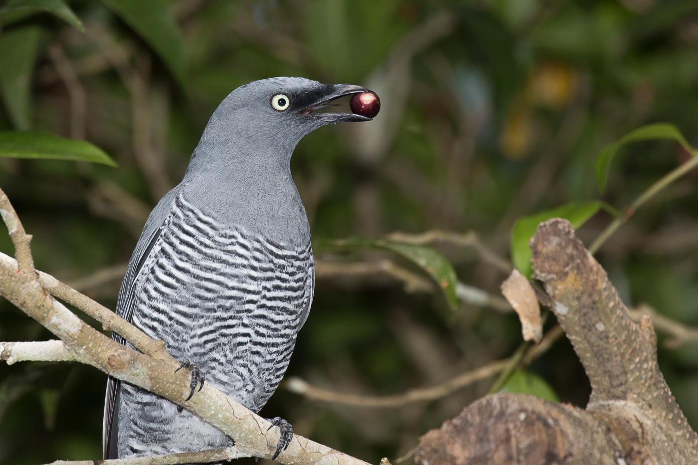 Barred Cuckoo-shrike (Image ID 33154)