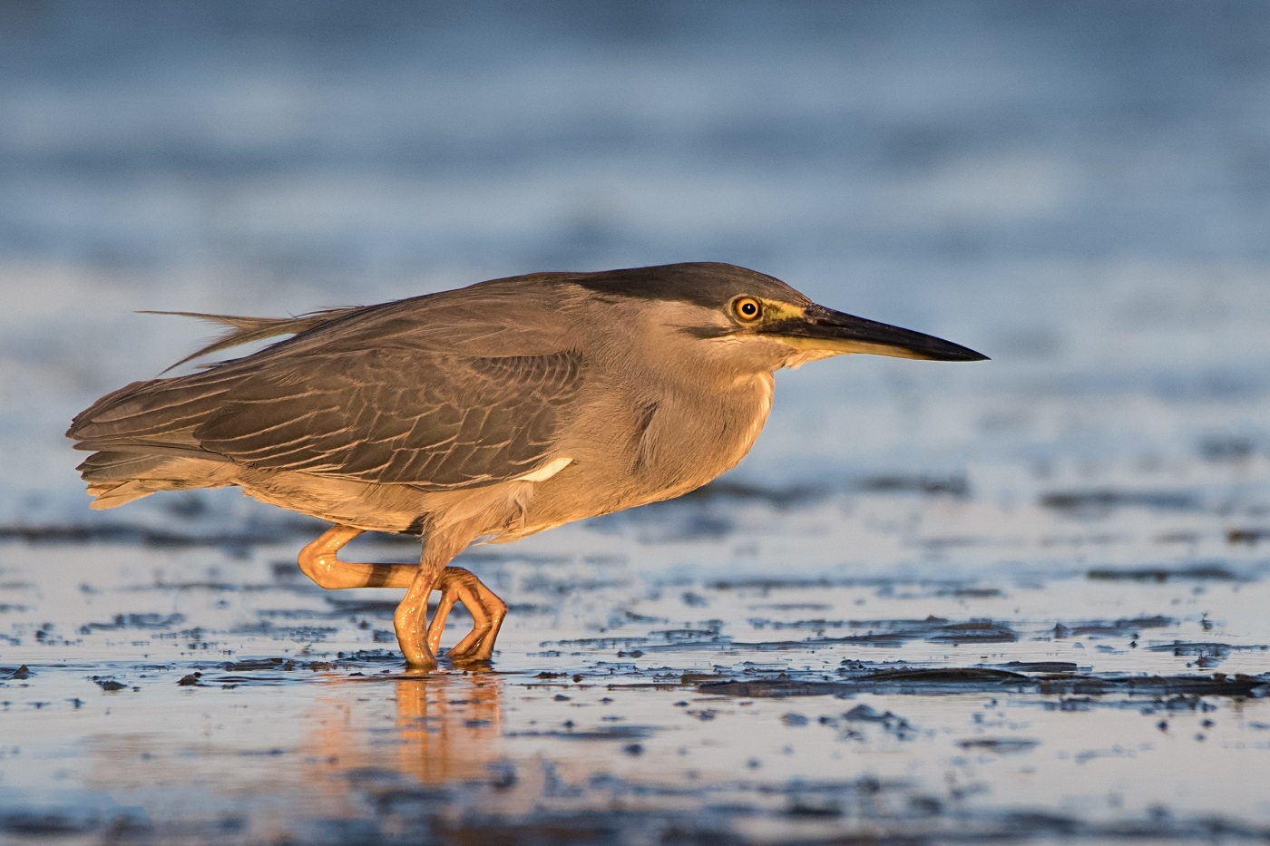 Striated Heron (Image ID 33239)