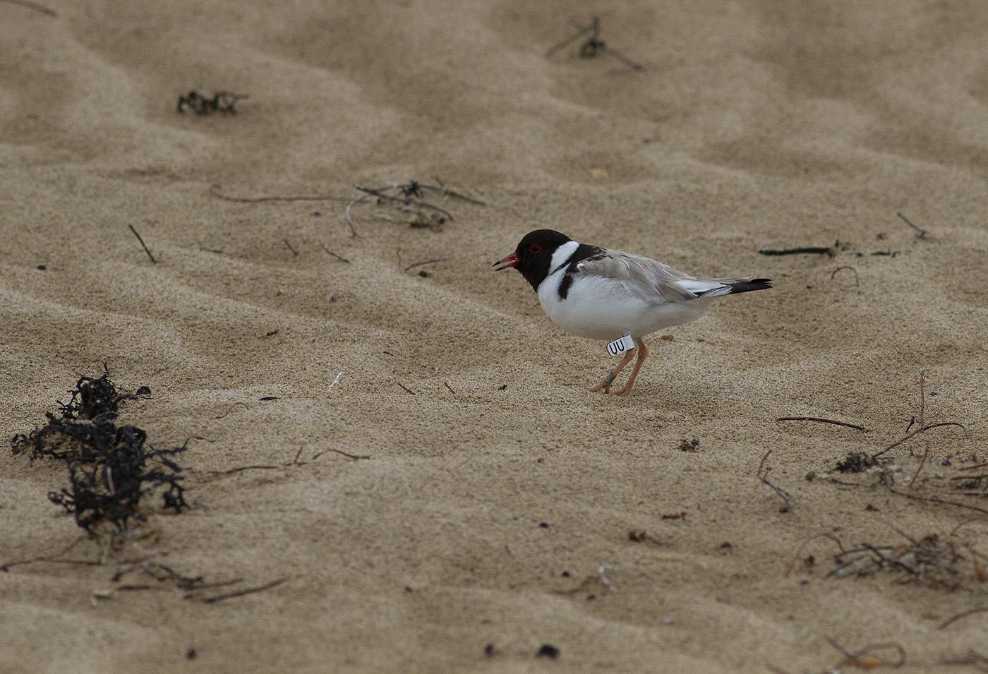 Hooded Plover (Image ID 33229)