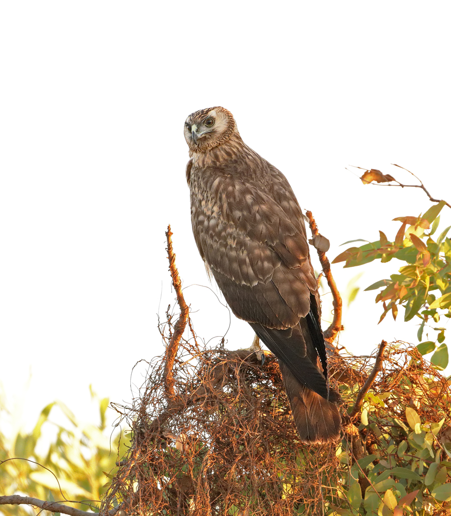 Spotted Harrier (Image ID 33145)