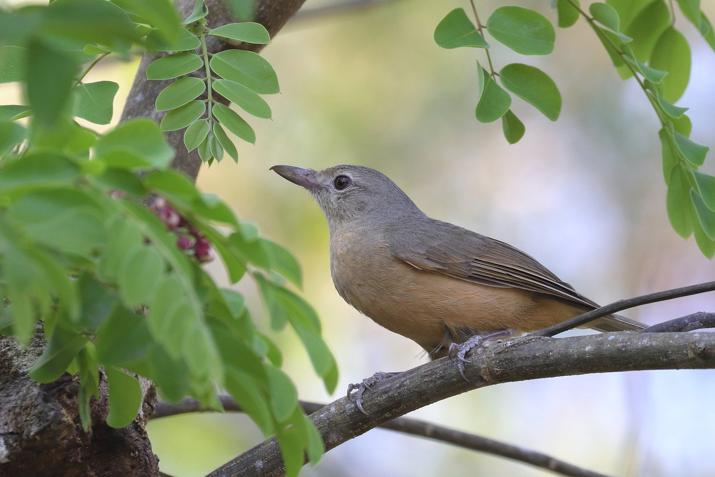Little Shrike-thrush (Image ID 33260)