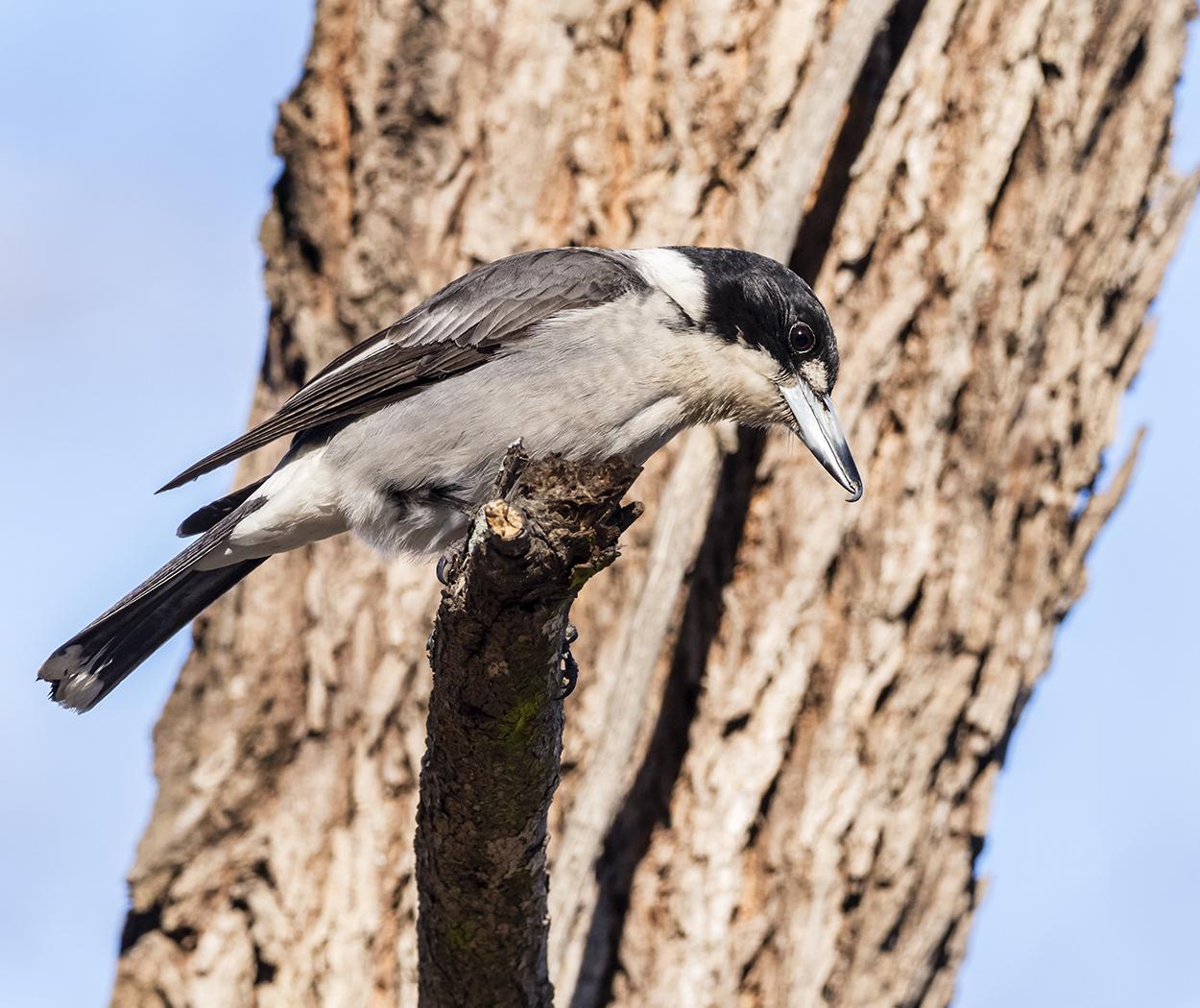 Grey Butcherbird (Image ID 33175)