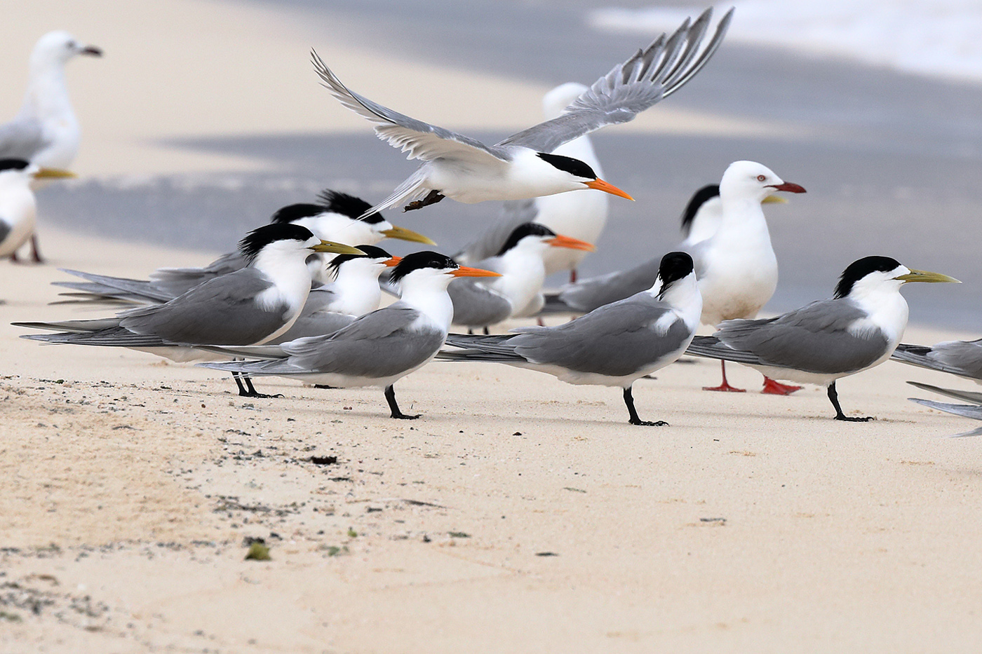 Crested Tern, Lesser Crested Tern, Silver Gull (Image ID 33181)