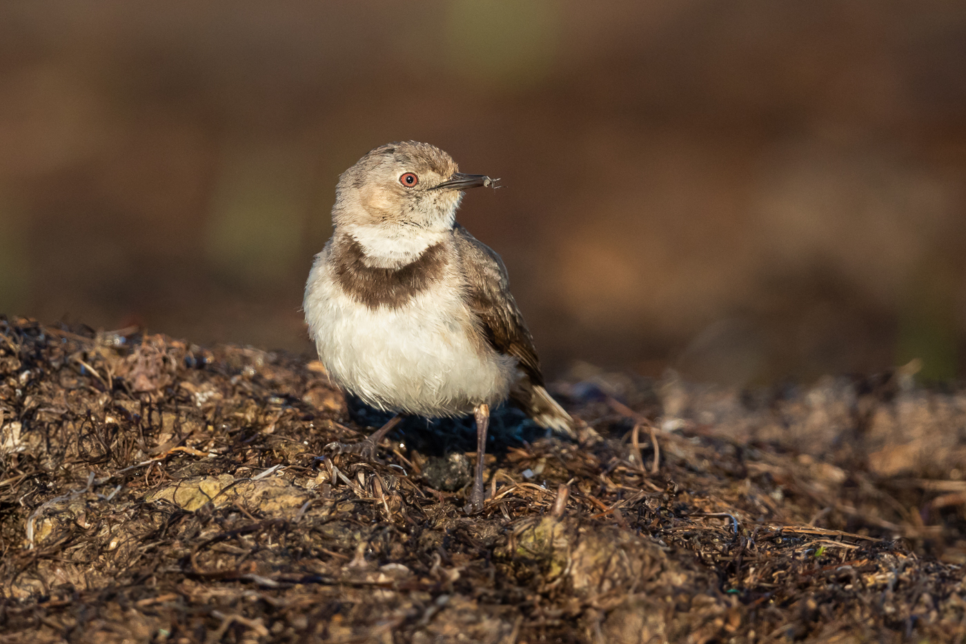 White-fronted Chat (Image ID 33115)