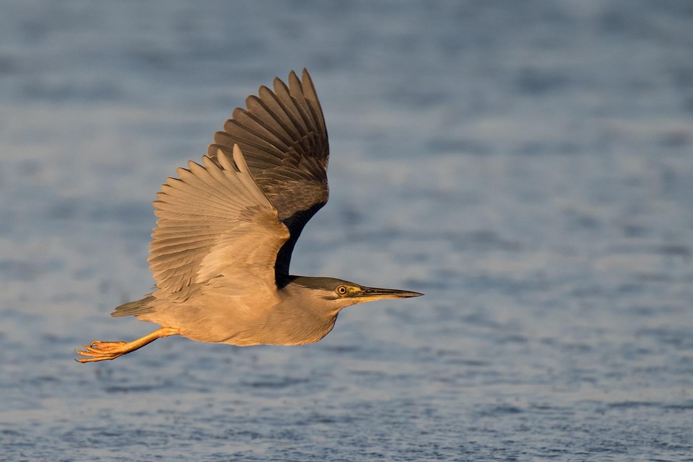 Striated Heron (Image ID 33238)
