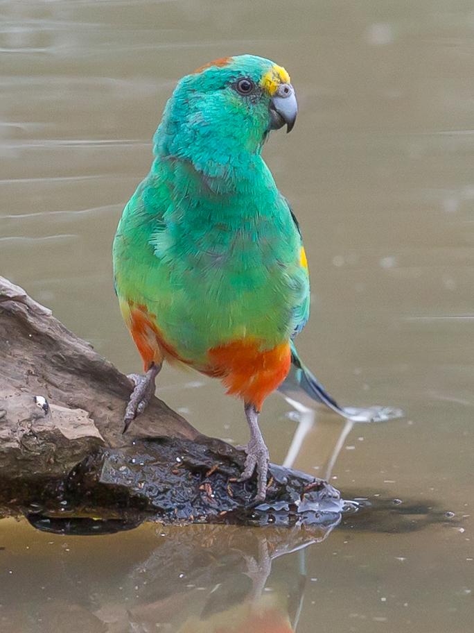 Mulga Parrot (Image ID 33723)