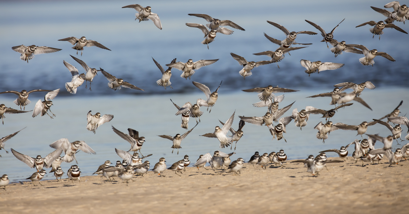 Double-banded Plover (Image ID 33657)