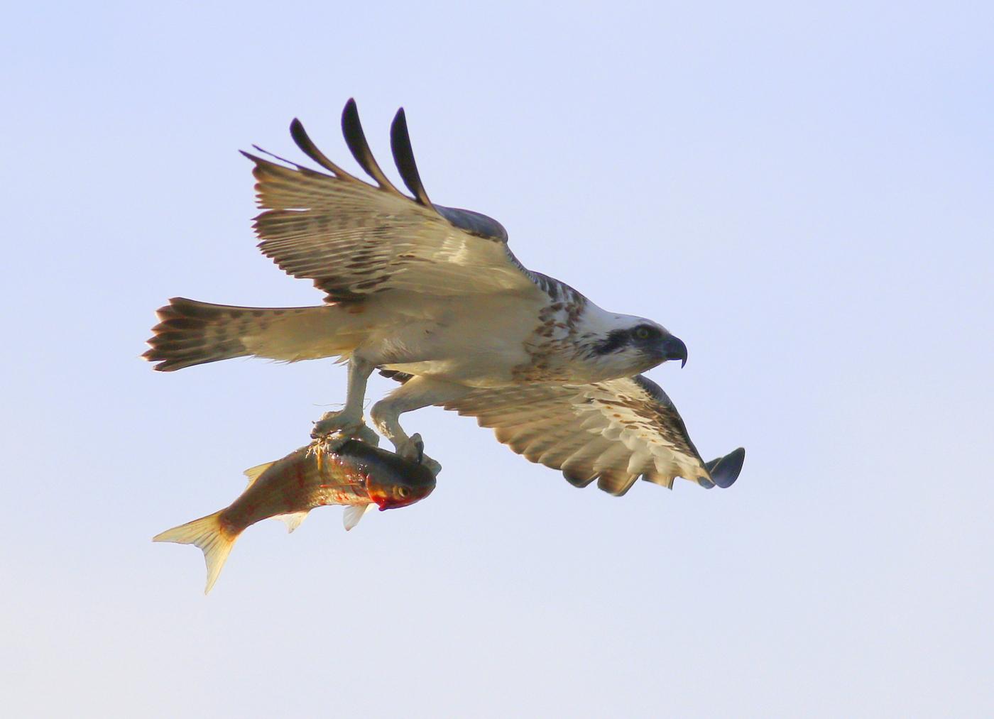 Osprey (Image ID 33694)